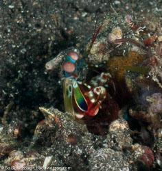 BD-090925-Lembeh-9253875-Odontodactylus-scyllarus-(Linnaeus.-1758)-[Reef-odontodactylid-mantis-shrimp].jpg
